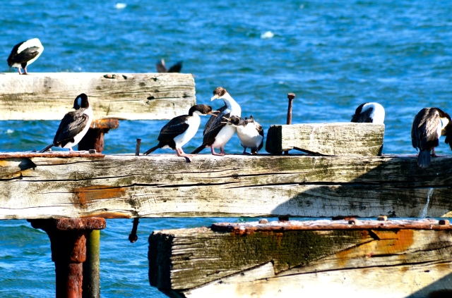 The dike4 - cormorants