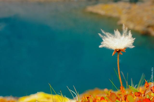 Fluffy seeds overlooking the Trollsjön