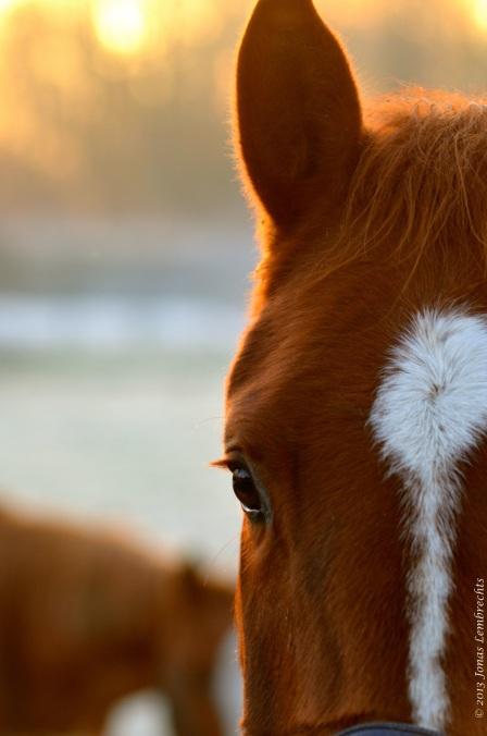 Horse-ear