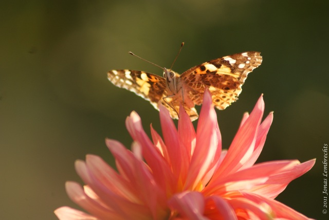 Dahlia with cosmopolitan butterfly