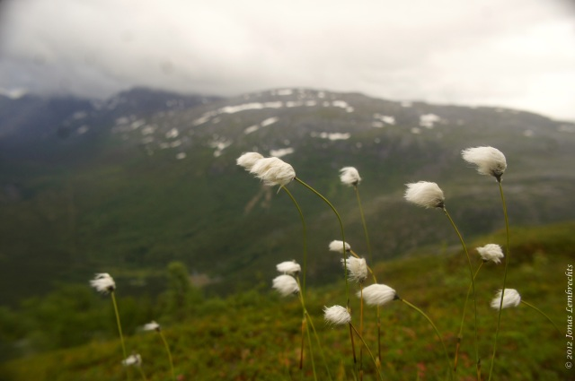 Cottongrass against the elements