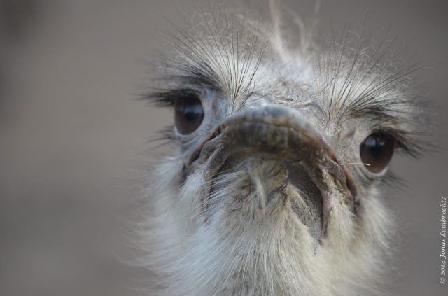 Displeased ostrich