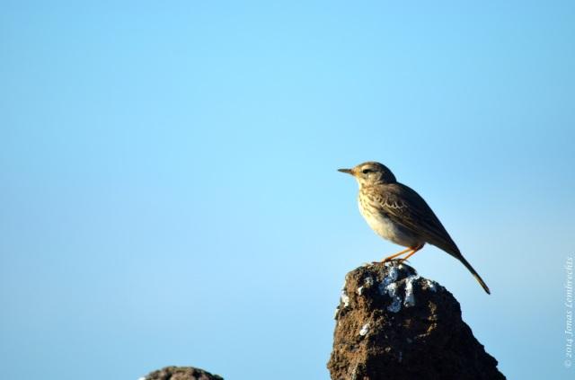 Stone-loving bird