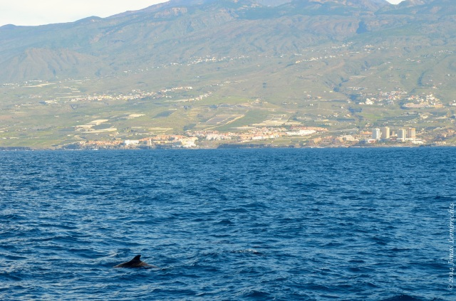 Whale and Tenerife