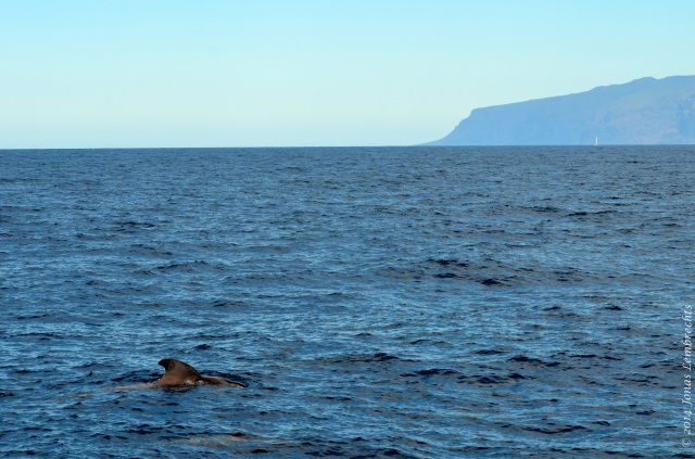 Pilot whale and Los Gigantes