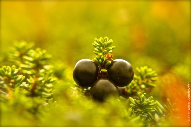 Crowberry - Empetrum nigrum