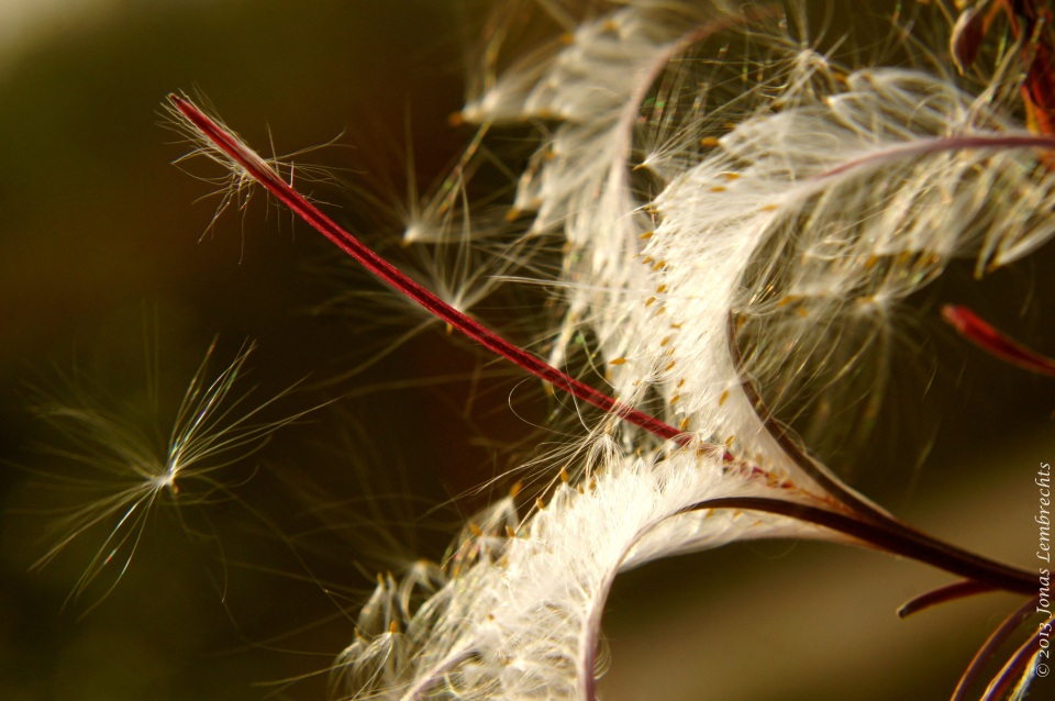 Hairy willowweed, a typical competitive weed