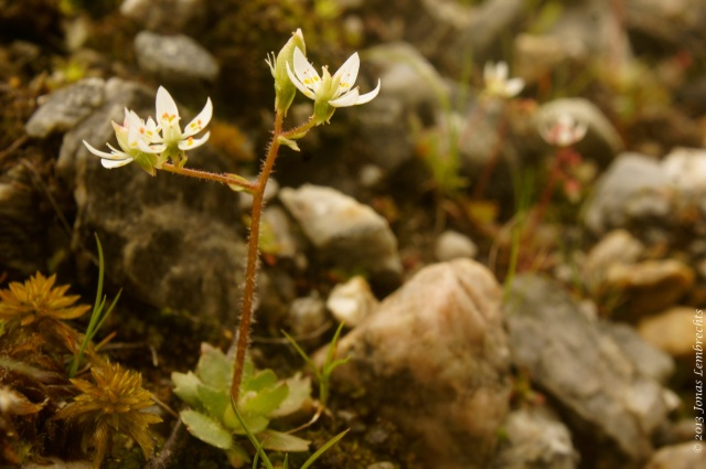Saxifraga, a typical stress-tolerant alpine species