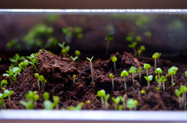 Germinating basil