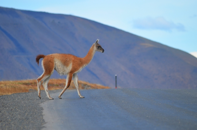 Guanaco crossing