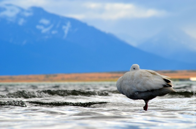 Puerto Natales goose3