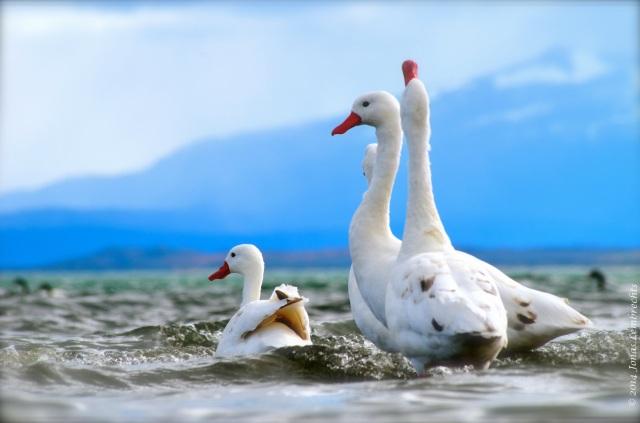 Puerto Natales goose2