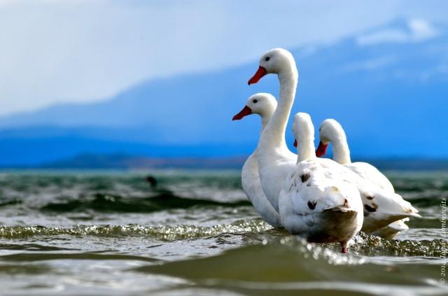 Puerto Natales goose
