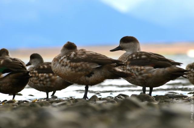 Puerto Natales duck