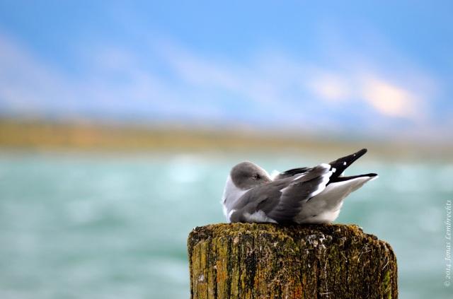 Puerto Natales gull