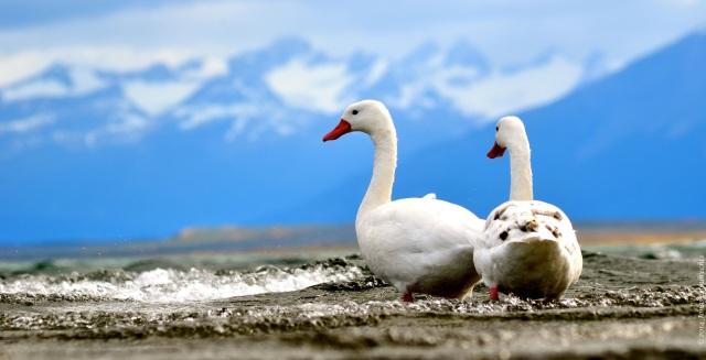Puerto Natales geese