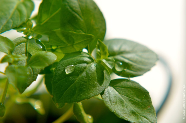 Basil leave with droplet