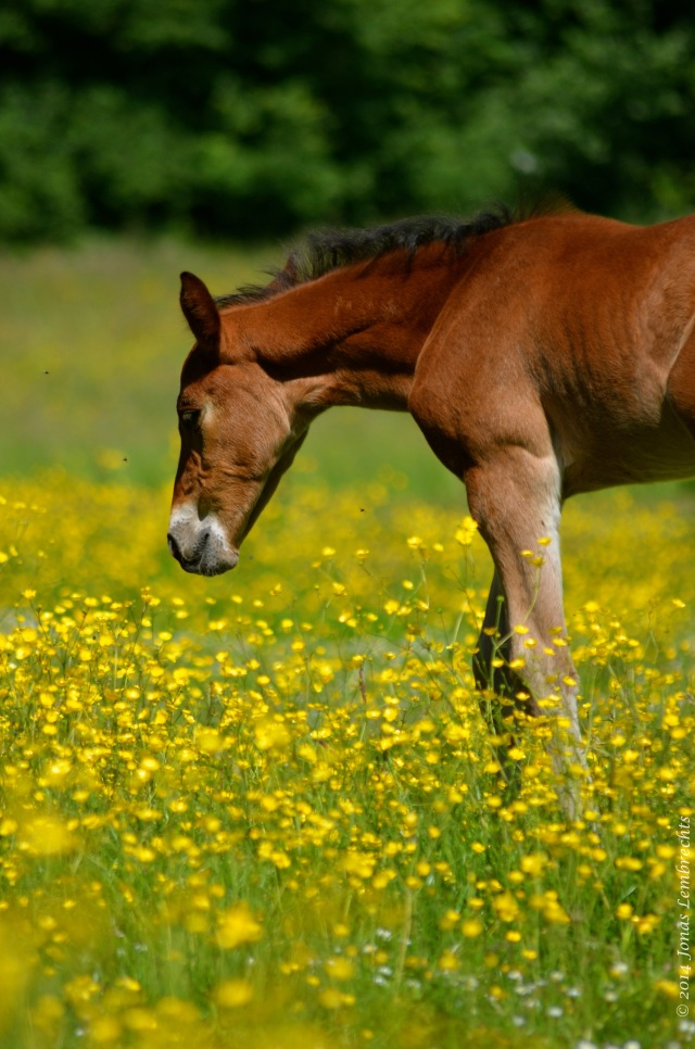 Foal in buttercup field