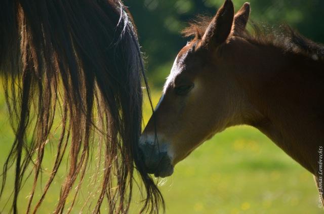 Foal following mama's tail