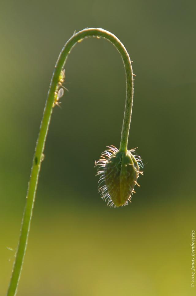 Flower in bud