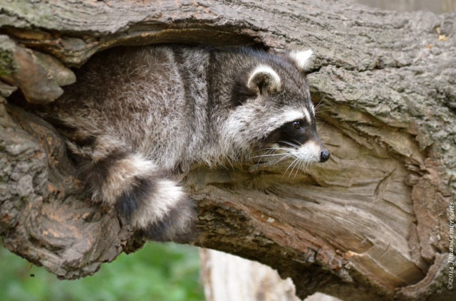 Raccoon in hole