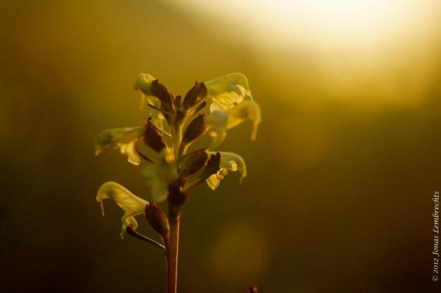 Rhinanthus flower