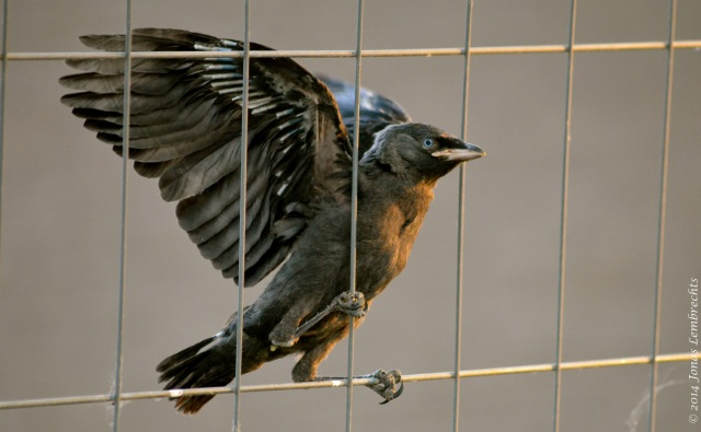 A clumsy baby jackdaw, not sure at all about how to use  its wings