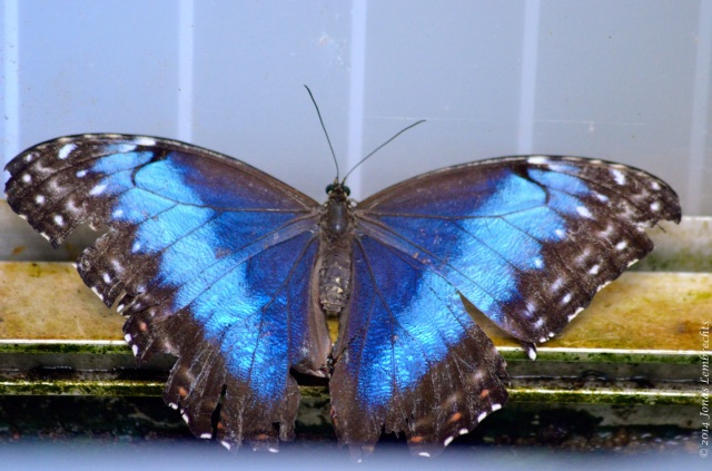 Blue morpho in butterfly garden