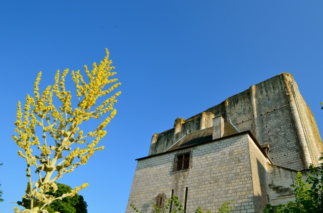 Common mullein and Loches castle