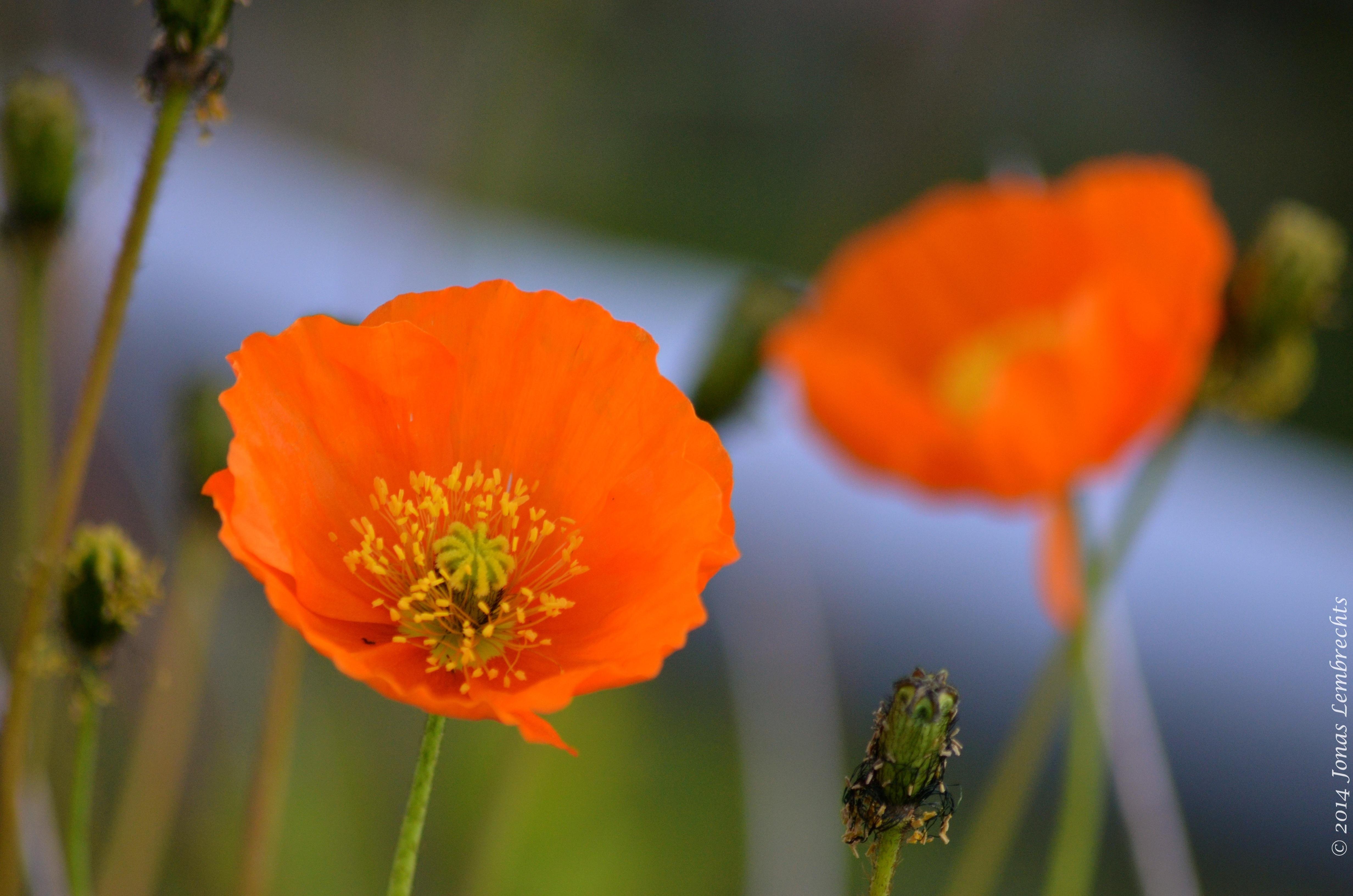 Orange Poppy On Top Of The World