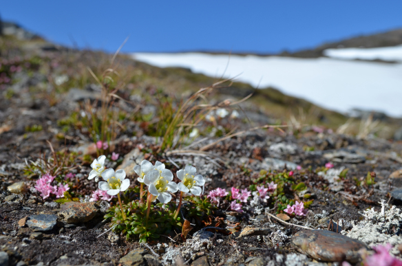 Dryas octopetala in the mountains