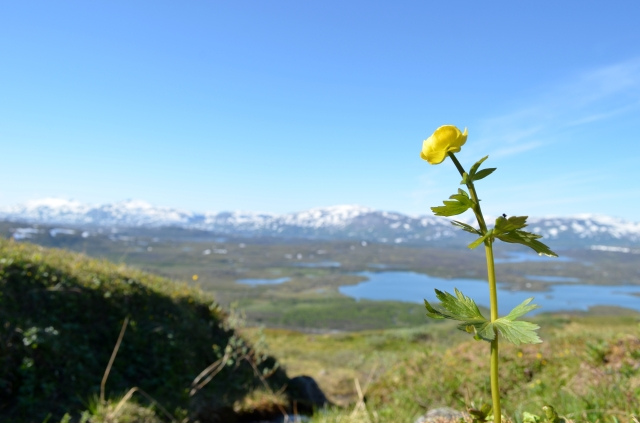 Globe-flower overlooking the valley