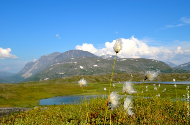 Cottongrass overlooking a marsh in a valley