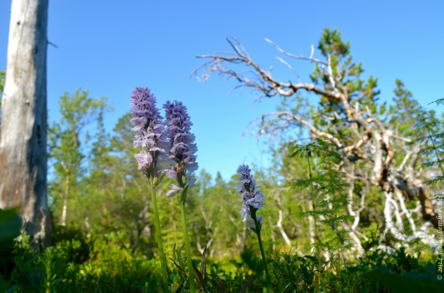 Orchid flowers in subarctic forest