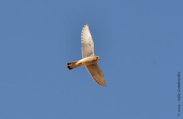 Spain falcon