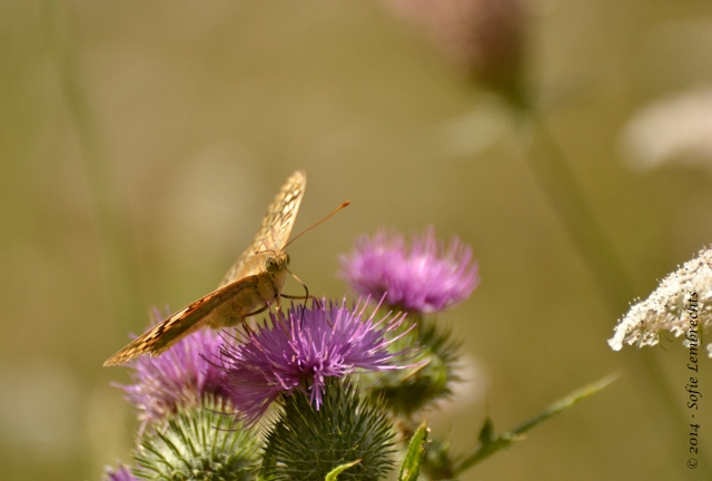 Spain butterfly on thistle