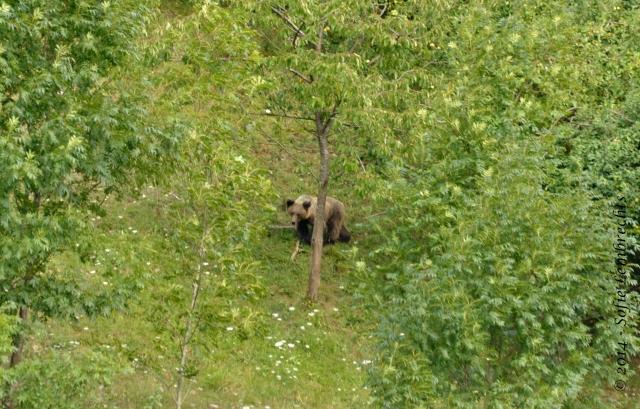 Spain bear