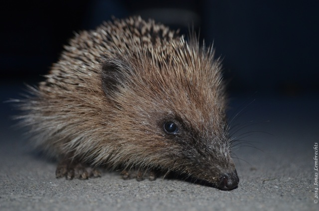 Hedgehog close-up