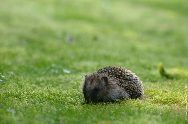 Hedgehog in grass