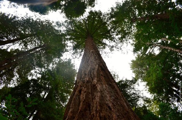 Large coastal redwood