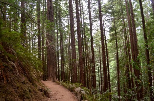 Walking trail in Muir Woods