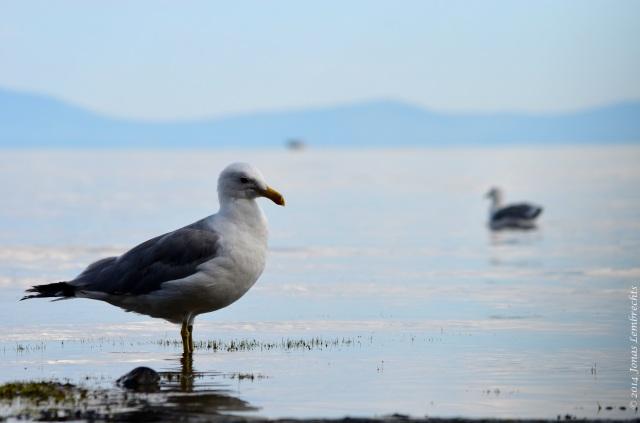 Gull in lake Tahoe