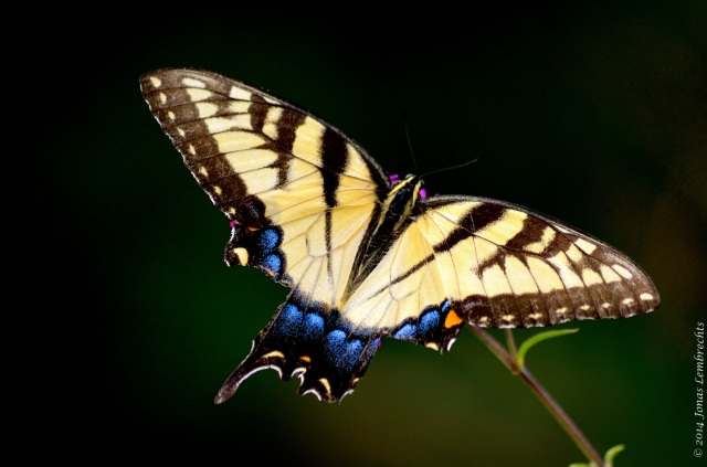 Papilio butterfly