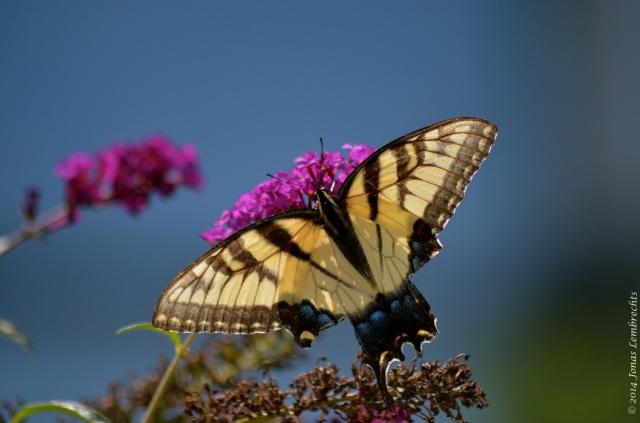 Papilio butterfly on butterfly bush