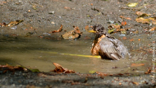 American robin in the bath