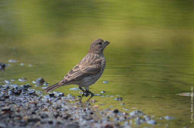 Female finch drinking