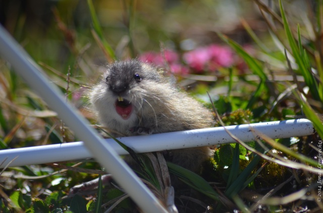 Angry lemming in a plot