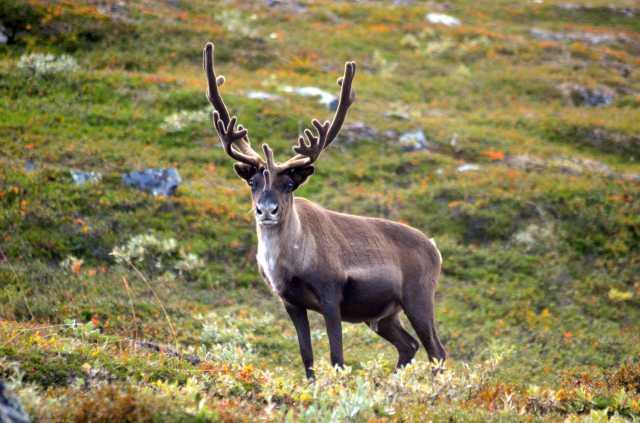 Majestic reindeer bull