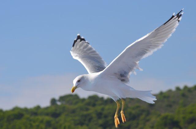 Hovering gull