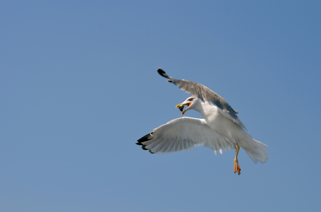 Gull catching fish mid-air